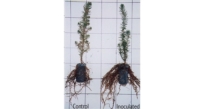Root growth potential after out planting is also assessed for various plant species