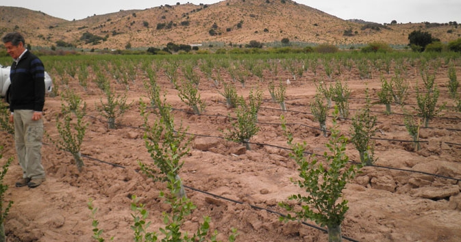 Quillay plantation being established on degraded land